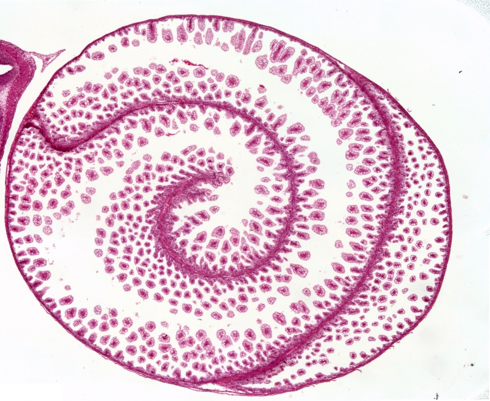 spiral intestine morphogenesis in the little skate