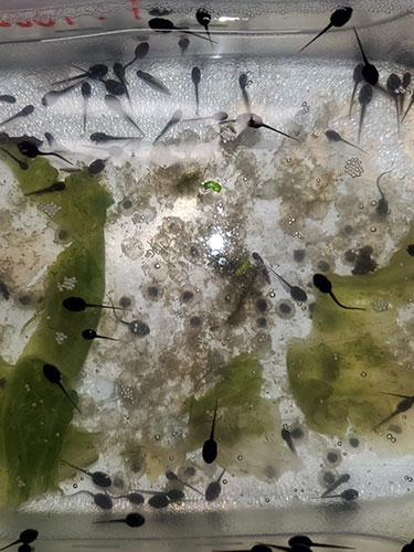 tadpoles from local ponds